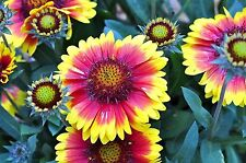 Blanketflower - Bright & Beautiful -25 Seeds- Combined S/H - See Our Store!