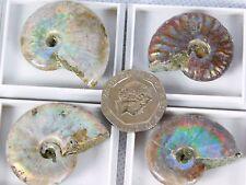 1 x  iridescent Ammonite Fossil Great Kids Gift School / Jewellery Arts Crafts