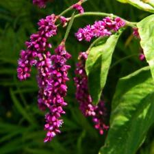 Kiss-Me-Over-The-Garden-Gate Seeds - Polygonum Orientale - Annual - 25 Seeds