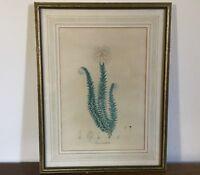 Antique 19th century Botanical Print French Mat Framed Under Glass Flower Floral