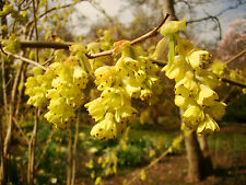 FRAGRANT WINTER HAZEL Corylopsis sinensis in a 7cm pot FLOWERS ON BARE BRANCHES