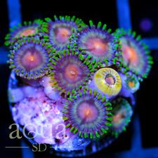 Asd - 055 Turf Wars Zoanthids - Wysiwyg - Aqua Sd Live Coral Frag