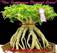 "ADENIUM DESERT ROSE THAI SOCOTRANUM "" DIAMOND CROWN "" 50 Seeds FRESH NEW RARE"