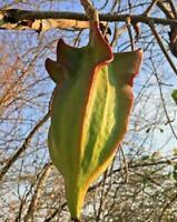 Jacaratia Mexican Maroon - Mexican Mountain Papaya - 5 Seeds