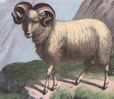 1886 Belle lithographie originale bêlier chamois mouton montagne animaux gravure