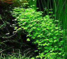 Tropica 1-2 Grow In Vitro Dreiteiliger Wassernabel hydrocotyle cf. tripartita