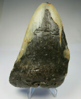 """Megalodon Shark Tooth Fossil, 4.70"""", 9 oz, No Restoration or repair, Giant tooth"""