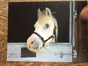 Horse Postcard - 'Fi-Fi' Pony At Bransby Home Of Rest