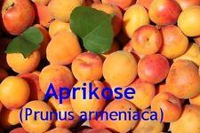 ***Aprikosenkernöl, 100 ml, raffiniert,  Topp - Massageöl für empfindliche Haut!