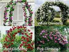 4 Pack Premium CLIMBING ROSE Seeds 10 RED WHITE PURPLE PINK Fence Vine