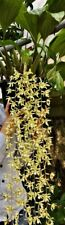 Coelogyne Species ´Dschungle Waterfalls´ Duft XL Pflanze Orchidee Orchideen