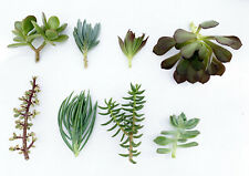 Succulent Live Plants Cuttings Cactus Tropical Assorted Mix of 8 Gardening