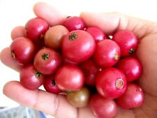 500+ JAMAICAN CHERRY SEEDS (Muntingia calabura) Sweet Panama Berry Exotic Tree