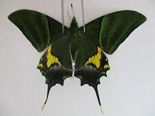 PA3277. Unmounted butterflies: Teinopalpus imperialis. North Vietnam.
