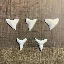 """5 Modern Bull Shark Teeth 7/8"""" to 1"""" Perfect for Necklaces Pendants or Crafts"""