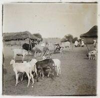 Africa Mucche Pecore Foto NE13 Placca Da Lente Stereo Vintage Ca 1910