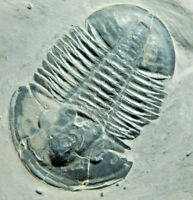 A BIG! Nice and 100% Natural Asaphiscus Trilobite Fossil From Utah 1244gr *B