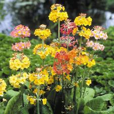Primula - Candelabra Mixed - 80 Seeds