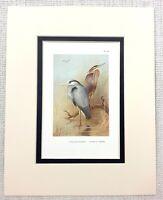 1929 Antico Uccello Stampa Comune Airone Viola Crane Vintage Fauna Selvatica Art
