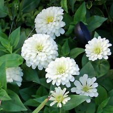 ZINNIA Dahlia Flowered Polar Bear Seeds (F 100)