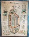 Leuckart Antique 1900s Zoology Classroom Wall Chart, Echinodermata