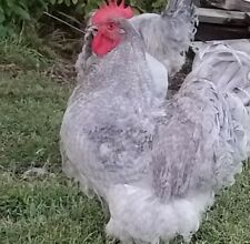 12 + Lavender Orpington  and Cuckoo Orpington Hatching Eggs