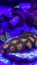 PACK OF 6 Frags of Zoas Zoanthids Zoa Live Coral  'MofoCorals'