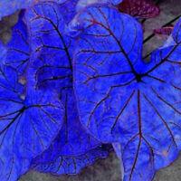 Caladium Dwarf Elephant Ear Ornamental Plant Seeds, 100% new high quality 200Pcs