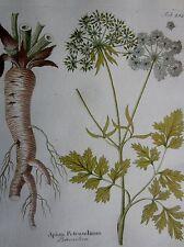 VIETZ: Icones Plantarum Handcolored Print Parsley - 1800