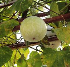 6 Painting Carving Bottle Gourd Seeds Lagenaria Siceraria Organic Vegetables