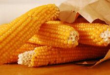 corn, POPCORN, YELLOW, pop corn, 27 seeds! GroCo