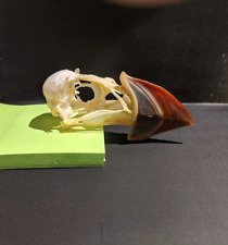 Taxidermy Puffin skull - Fratercula Arctica - Compleate - Beetle cleaned-