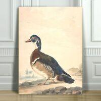 "VINTAGE BIRD ART - Duck - CANVAS ART PRINT POSTER - 24x18"""