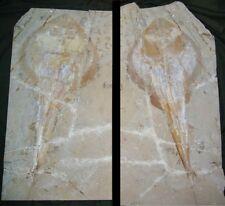 More details for rhinobatus fossil fish (42.5 cm) - lebanon - cretaceous period