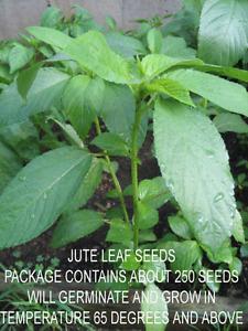 Jute Leaf  Plant Seeds (250 Seeds) ~ Crain Crain Seeds ~ 2021