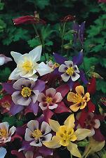 1750 Graines de Fleurs Ancolies Mac Kana en Mélange / Fleurs Vivaces
