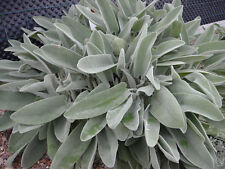 Just Clivia N°52 Tk Original #3 X Cranrao Yard, Garden & Outdoor Living 18 Months