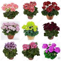 True Geranium Bonsai Seeds Plants Color Flower Potted Balcony Rare Mixed 50pcs