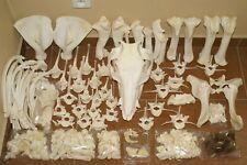 real genuine animal pig skeleton taxidermy skull bone zooarchaeology supplies