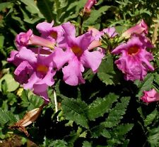 HARDY GLOXINIA Incarvillea Delavayi Red Rose Pink Perennial, Zone 5!!! 10 Seeds