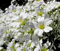 SNOW IN SUMMER Cerastium Tomentosum - 50,000 Bulk Seeds