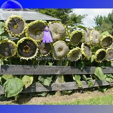 Mongolian Giant Sunflower Seeds, 20 Seeds