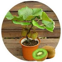 100 stücke KIWI Samen Gesunde FRUCHT Actinidia Reben Samen Einfach zu Pflanzen-