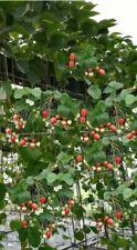 3 Stück Hängeerdbeeren Pflanzen Fragaria Kletter-Erdbeeren im Topf gewachsen