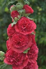 25 Double Rosey Red Hollyhock Seeds Perennial Giant Flower Garden Plant Seed 467
