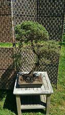 ESTABLISHD OUTDOOR CONIFER BONSAI TREE OVER 30yrs OLD.IN LIGHTWEIGHT BONSAI POT