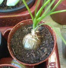 ALBUCA AUGRABIES HILL  (RARE) suculent plant suculenta bulbo