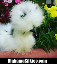 "14 SILKIE CHICKEN HATCHING EGGS - NPIP - AI CLEAN - ""Silkie Silkie Silkie"""