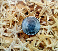 100 starfish flat natural dried tan star fish weddings nautical beach decor DIY