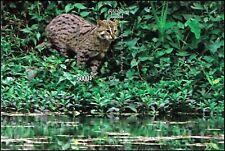 Fishing Cat -SPECIAL SOUVENIR SHEET- (343B) (MNH)
